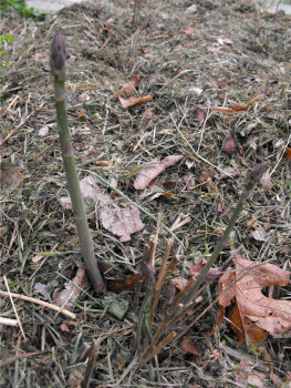 Asparagus bed mulched with grass clippings