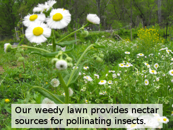 Our weedy lawn provides nectar sources for pollinating insects.