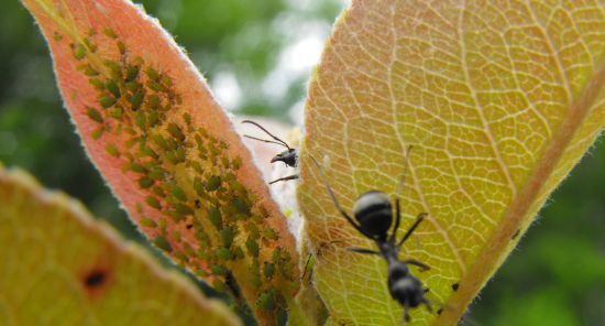 Ant farming aphids on a pear leaf.