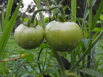 A volunteer tomato with green fruits