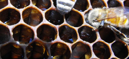 Honeybees dehydrating nectar into honey