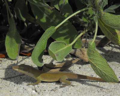 Anole and sage