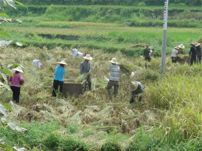 Harvesting rice in China