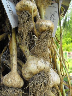 Heads of garlic