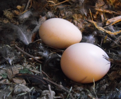 White Cochin eggs