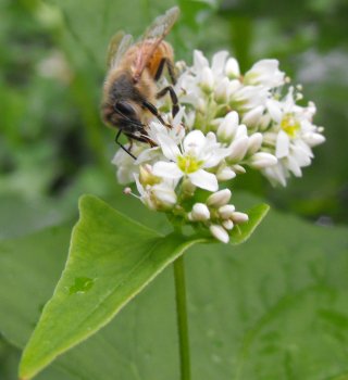 Honeybee on a buckwheat flower