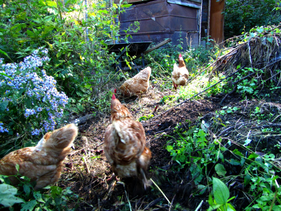 Chickens in a forest pasture