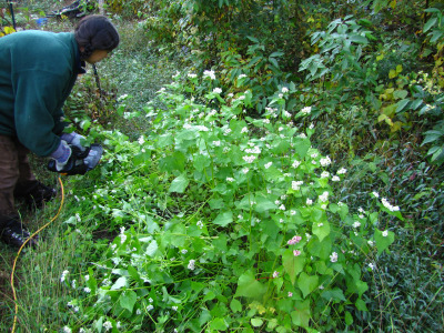 Cutting buckwheat with a hedge trimmer