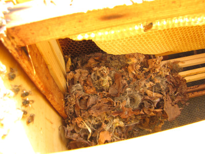 Mouse nest in a bee hive