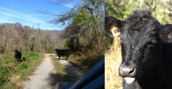 Cow in the road sticking out its tongue