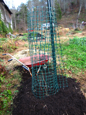 Build a loop of netting to hold in leaves and protect your fig