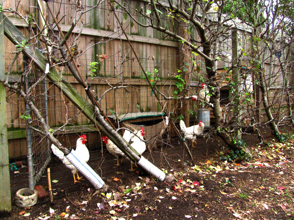 Espaliered apple trees with chickens running beneath