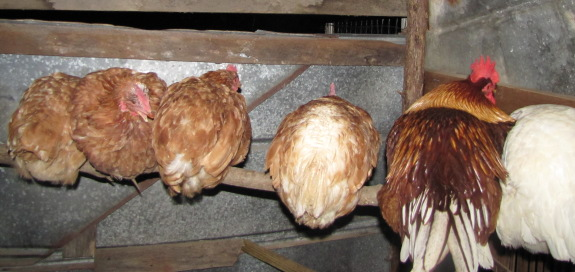 roosting at night for 5 hens and a rooster on a cold December evening