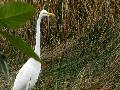 Great Egret at Coba