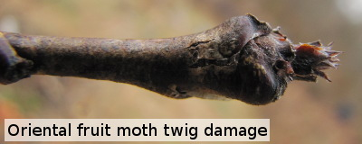 Oriental fruit moth twig damage
