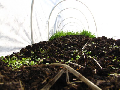 Lettuce seedlings in a quick hoop