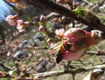 Honeybee in a nectarine flower