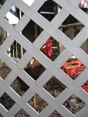 Rooster through fence