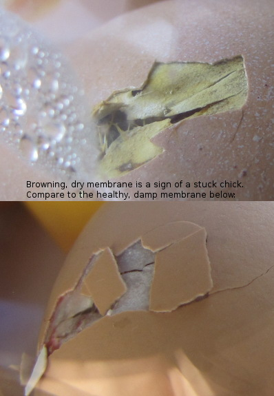 A brown, dry membrane is a sign of a stuck chick. Compare to the healthy, damp membrane below.