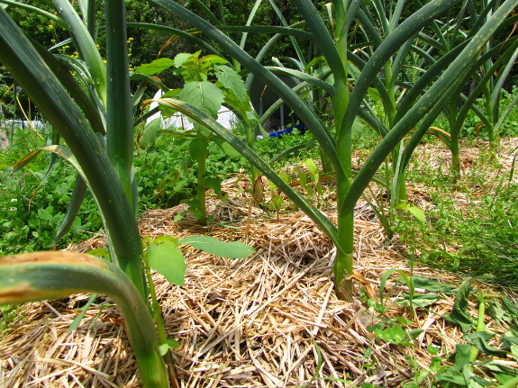 straw mulched garlic