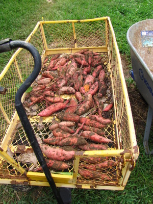 Sweet potatoes in wagon