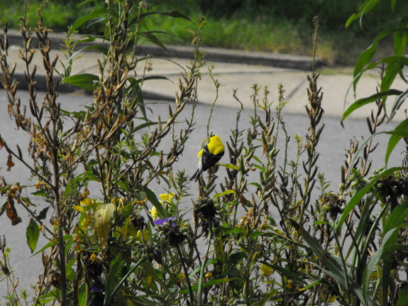 Goldfinch on primrose