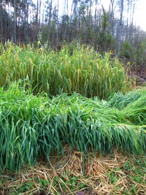 Oat cover crop