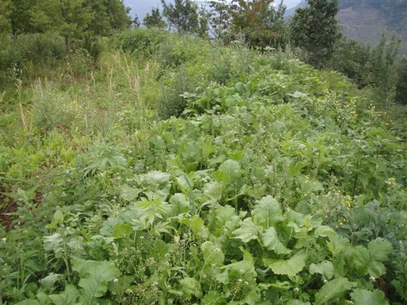 Holzer's green manure
