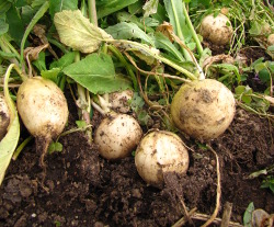 Uprooted turnips