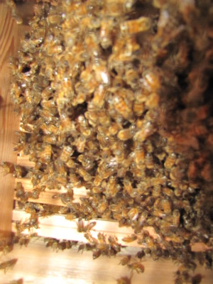 Young bee colony