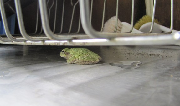 Gray Treefrog on the sink