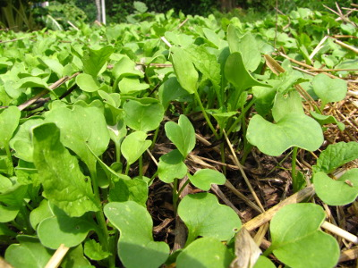 Oilseed radish seedlings