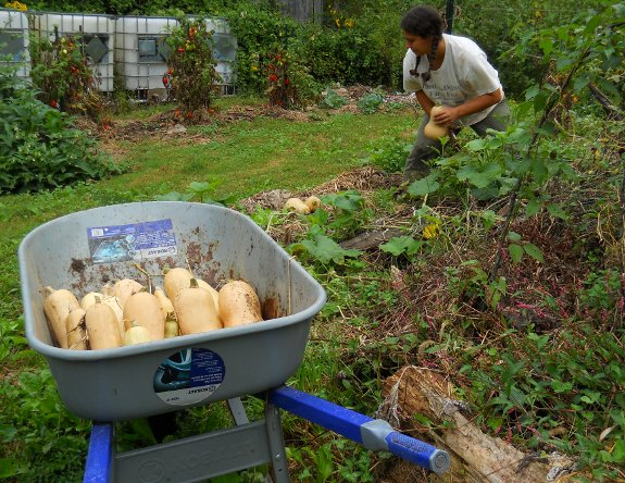 wheel barrow full of delicious butternut squash