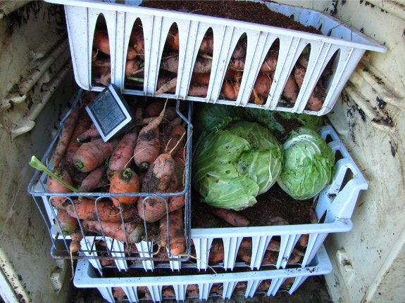 Carrots in a root cellar