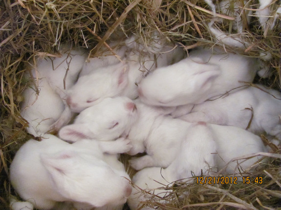 Week old bunnies