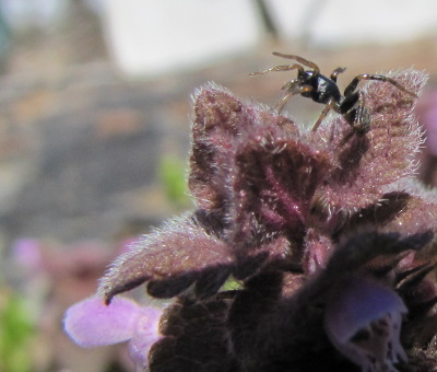 Spider on dead nettle