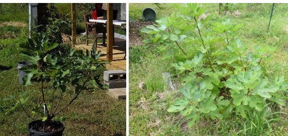 fig plant one year later