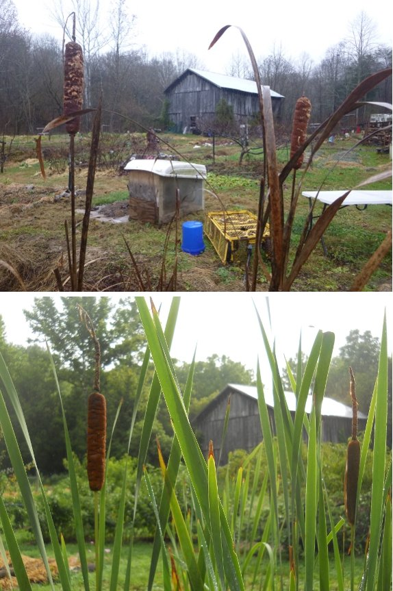 comparing the same cattail plants 90 days later