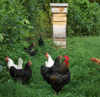 Pastured chicken flock