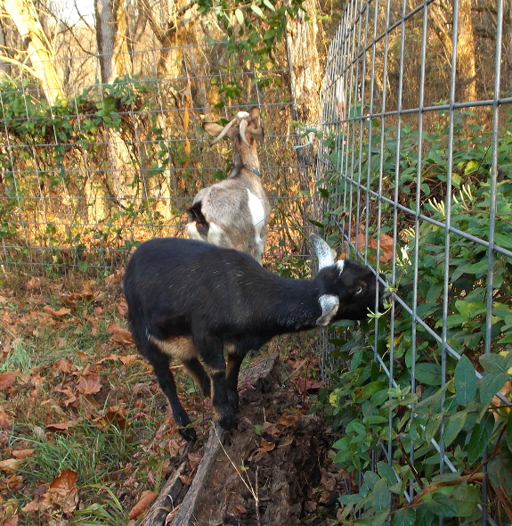 Goats eating honeysuckle