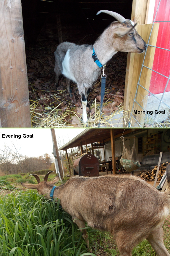 Morning goat, evening goat