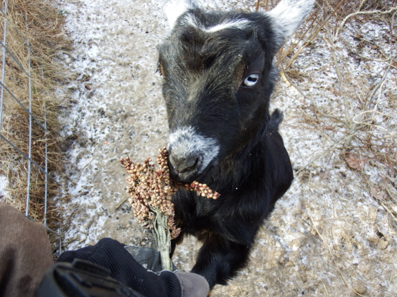 Goat eating sorghum