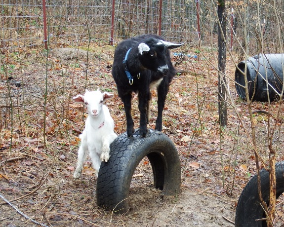 goats standing on tires