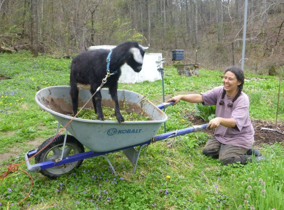 goat standing in a wheel barrow