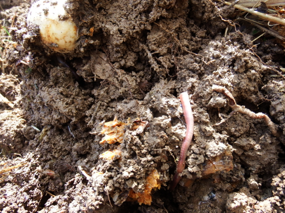 Food scraps in the soil