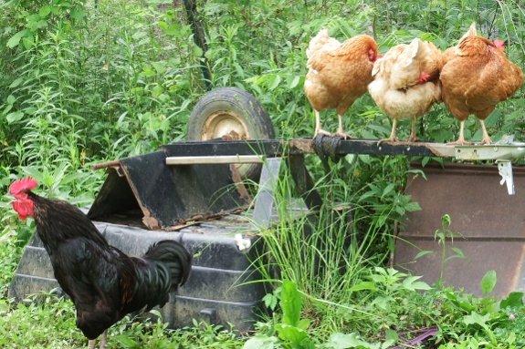rooster and hens on a heavy hauler cart