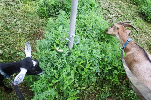 Goats eating alfalfa