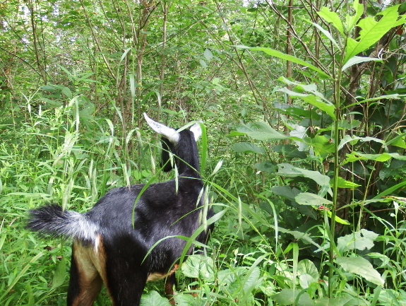 Miniature goat in the woods