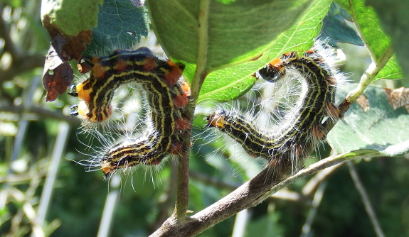Yellow-necked caterpillars