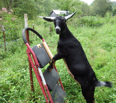 Goat on a stepping stool